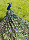 Peacock on a grass in a park back view Stock Image