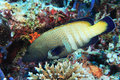 Peacock hind grouper fish cephalopholis argus in the tropical coral reef Stock Photos