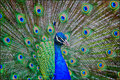 Peacock indian peafowl portrait the male indian peafowl has iridescent blue green or green colored plumage the tail train Stock Photo