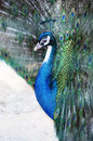 Peacock with iridescent blue feathers Royalty Free Stock Photo