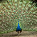 Peacock with large tail Royalty Free Stock Photo