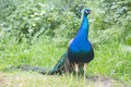 Peacock male in the field (Indian peafowl, blue peafowl or Pavo Royalty Free Stock Photo