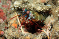 Peacock mantis shrimp odontodactylus scyllarus aka harlequin painted clown looking out Stock Photos