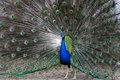 Peacock during mating dance Stock Photography