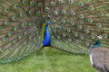 Peacock Mating Season Royalty Free Stock Photo