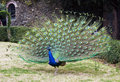 Peacock with open tail Royalty Free Stock Image
