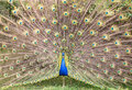 Peacock with open tail Royalty Free Stock Photo