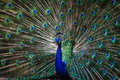 Peacock opening its feather to attract female Royalty Free Stock Photo