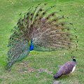 Peacock with outstretched plumage with shows near peahen Stock Images