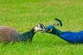 Peacock pair Royalty Free Stock Photo