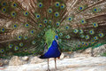 Peacock in the park Royalty Free Stock Photo