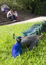 Peacock in a park Stock Image