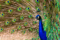 Peacock pavo cristatus with colorful feathering Royalty Free Stock Photos