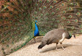 Peacock and peahen Stock Photo