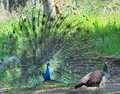 Peacock and peahen courting ritual passing by Stock Images