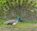 Peacock and peahen courting in spring ritual Royalty Free Stock Photography