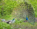 Peacock and peahen courting in spring ritual Stock Image