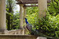 Peacock peocock in a stately manor garden Royalty Free Stock Photos