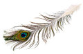 Peacock plume on white close up Stock Image