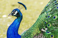 Peacock portrait beautiful colorful profile Stock Images