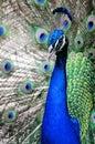 Peacock portrait (vertical)