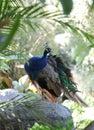 Peacock preening Royalty Free Stock Photo