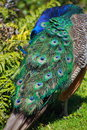 Peacock preening a its vibrant feathers Stock Photography