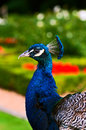 Peacock profile close up single one vertical portrait Royalty Free Stock Photo