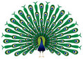Peacock raise his feathers in  Royalty Free Stock Photography