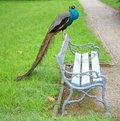 Peacock on a seat Royalty Free Stock Photography