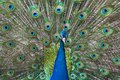 Peacock show-off Royalty Free Stock Images