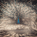 Peacock showing its tail shot against the sun Stock Images