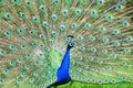 Peacock showing off colorful feathers tail Stock Photography