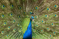 Peacock with spread open tail Stock Photos
