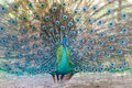 Peacock spread tail-feathers closeup Royalty Free Stock Photo