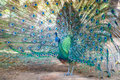 Peacock spread tail-feathers Royalty Free Stock Photo