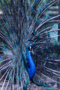 The peacock with tail fully opened Royalty Free Stock Photo