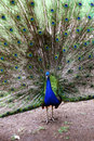 The peacock taken at a wildlife sanctuary in australia near sydney Stock Image
