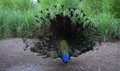 Peacock to portray in its environment Royalty Free Stock Image