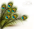 Peacock vector colorful ferns on a white background cute with green Stock Images
