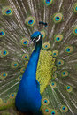 Peacock vertical with colorful tail trying to seduce Royalty Free Stock Photos