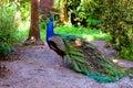 Peacock walking