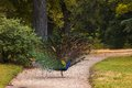 Peacock walking on a path in the park Royalty Free Stock Photo