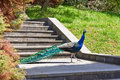 Peacock walks in park Royalty Free Stock Photo