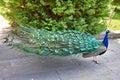 Peacock walks in park Royalty Free Stock Photo