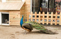 Peacock in the yard Royalty Free Stock Photos