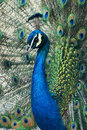 Peafowl the close up of blue Stock Image
