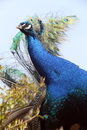 Peafowl detail photo of the blue head Stock Photos