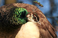 Peafowl head of in nature Royalty Free Stock Photo