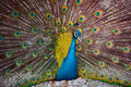 The peafowl Royalty Free Stock Photo